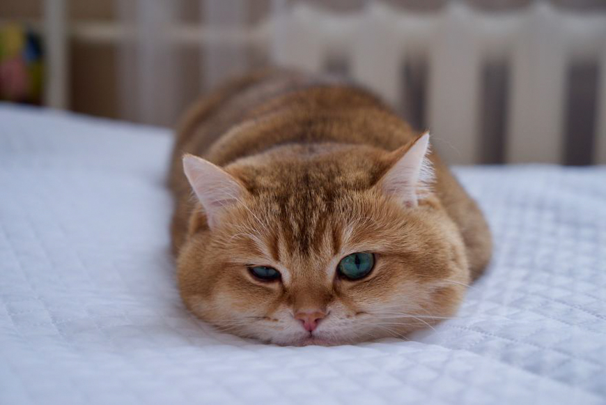Meet Hosico Super Cute Cat With Green Eyes Youloveit Com