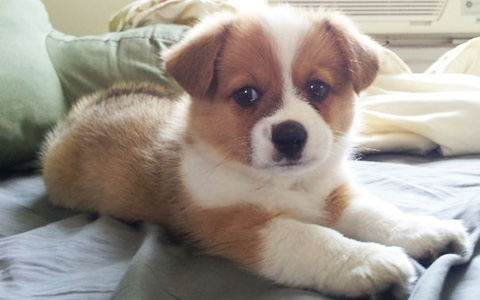 Corgi Cross Breeds