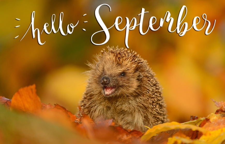 Hello september picture with hedgehog