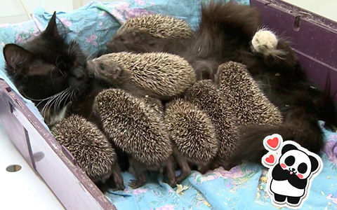 Mothers are the best creatures: Cat adopts orphaned baby hedgehogs